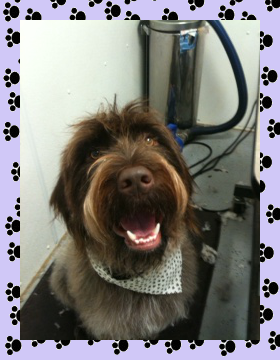 Wired Haired Pointing Griffon - Aprils Doggie Spa